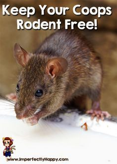 Tips for a Rodent Free Coop - keeping your flock healthy and safe. by ImperfectlyHappy.com