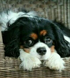 Gracie, beautiful Cavalier King Charles Spaniel, owned by Donna Stone. Looks just like my Ladybug.