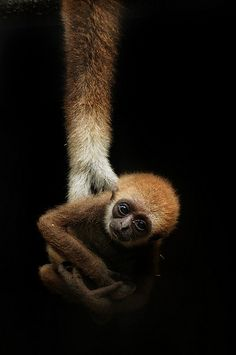 """In the mam's cradle"" - Lar Gibbon - by No. Ge. on Flickr. °"