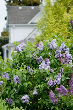 i want to fill the edges of my house with lilacs! the breeze in the summer will blow in the amazing scent