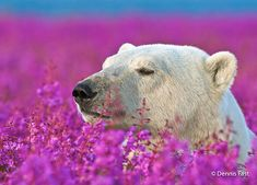 Even though we are used to think of polar bears in their cold environment, they also enjoy summer and the flowers that come with it. Dennis Fast, a Canadian photographer, discovered a polar bear playing with small purple flowers in Canada. Pictures Of Polar Bears, Animal Pictures, Bear Photos, Animals Photos, Beautiful Creatures, Animals Beautiful, Cute Animals, Beautiful Images, Especie Animal