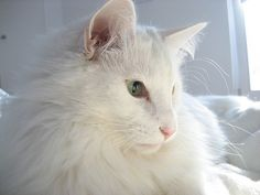 Norwegian Forest Cat -- this could be my Aidan, may she rest in peace.