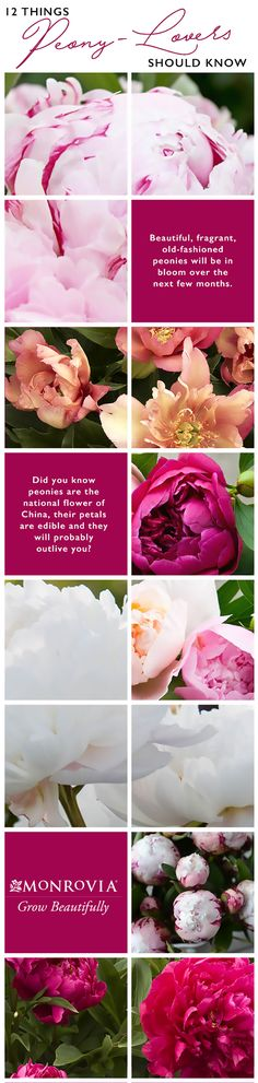 Beautiful, fragrant, old-fashioned peonies will be in bloom over the next few months. Here are 12 fascinating facts about these spectacular flowers.