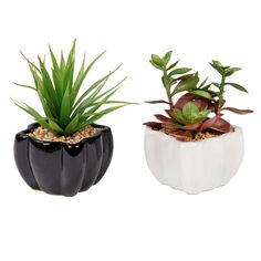 Succulent In White and Black Pot- 6.5-in