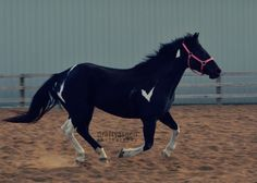 Gorgeous trail and game horse | Black Female Paint in Lake Elmo MN | 3198594226 | Horses on Oodle Marketplace