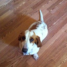 Our Bassett hound :)