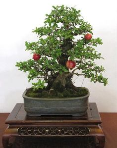 Pomegranate Bonsai                                                                                                                                                                                 More
