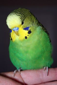 Dark green or violet green English budgie x American parakeet cross. Picasso
