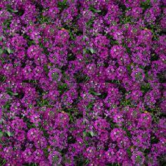 Bruyere Vivace Erica Gracilis Dans Le Jardin Bruyeres Jardins