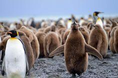 Tähtäimessä valkoinen manner – lähde mukaan hyytävälle matkalle Antarktikselle | Yle Uutiset | yle.fi King Penguin, Penguins, Birds, Snow, Image, Animales, Penguin, Bird, Eyes