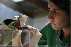 Un tucán maltratado tendrá un nuevo pico gracias a una prótesis 3D - http://www.leanoticias.com/2015/02/26/un-tucan-maltratado-tendra-un-nuevo-pico-gracias-a-una-protesis-3d/