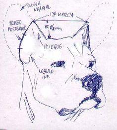 Artículos Dogo Argentinos