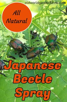An All Natural Japanese Beetle Spray - Recipe Included Japanese Beetles can wreak havoc on plants. Here is a simple, all natural Japanese Beetle spray recipe to repel them from your garden and landscape Slugs In Garden, Garden Bugs, Garden Insects, Garden Pests, Garden Fertilizers, Plant Pests, Herbs Garden, Fruit Garden, Garden Art