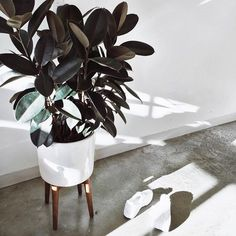 Ficus elastica (Rubber Plant / Rubber Tree) l Ficus Elastica, Indoor Garden, Indoor Plants, Cactus Plante, Belle Plante, Rubber Tree, Interior Plants, Cactus Y Suculentas, Green Plants
