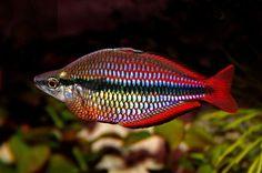 Melanotaenia trifasciata aquarium fish free wallpaper