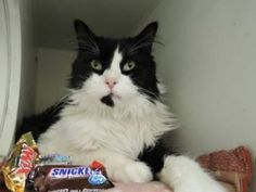 TO BE DESTROYED 10/25/16***Fluffy is a handsome black and white domestic kitty who lived up to his name! He was surrendered by his former family because they moved to a