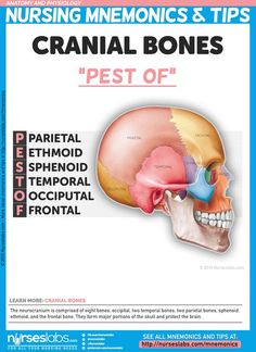 "Cranial Bones: ""PEST OF""  The neurocranium is comprised of eight bones: occipital, two temporal bones, two parietal bones, sphenoid, ethmoid, and the frontal bone. They form major portions of the skull and protect the brain.  For more nursing mnemonics, visit: http://nurseslabs.com/anatomy-and-physiology-nursing-mnemonics-tips/:"