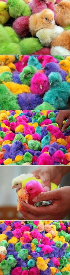 En el período previo a la Pascua, los pollitos en el Líbano, Jordania y la India se tiñen con colorantes y se venden en los mercados callejeros.