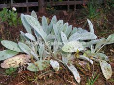 wooly lambs ear. Never realized the medicinal benefits  it has. .