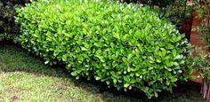 Arbusto é resistente ao calor e pode formar cerca viva; veja como cultivar