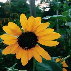 sunflowers are my favorite flowers