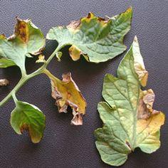 how to get rid of verticillium wilt