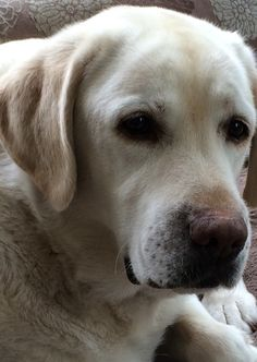 Handsome yellow lab - looks like my Bear, he was such a good sweet yet protective non hunting ole boy.