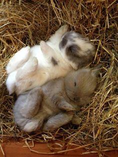 Awwwwwwww! Fuzzy bunnies sleeping... how cute is this?!