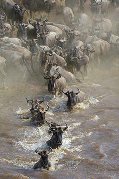 Wildebeest Crossing (by dickysingh)
