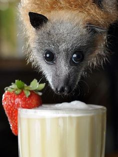 Bat Smoothies - Bev Brown who runs the Ashburton Wildlife Shelter has perhaps the most pampered patients in the wildlife caring fraternity. On hot days or as a special treat her endangered grey-headed flying foxes are treated to a special mix of blended fruit juices. Camilla the 12-week-old bat especially enjoys hanging around and partaking of a cold 'frothy'.    photo Craig Borrow