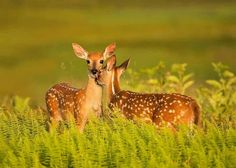 A Tender Moment Whitetail fawn deer in Shenadoah National Park, Virginia By Richard Bernabe Oh Deer, Baby Deer, Water Deer, Animals And Pets, Cute Animals, Wild Animals, Hunting Shows, Woodland Creatures, Training Your Dog