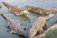 le lac aux crocodiles sacrés de Yamoussoukrou