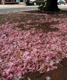 Cherry blossoms on a brick sidewalk, downtown #Goldsboro, NC.