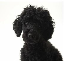 My mother had a little black poodle for many years. It ws always on her lap when she drank her cup of coffee in the morning! The dog was supposed to be for her girls, but it loved her best. Black Standard Poodle, Standard Poodles, Small Poodle, Poodle Grooming, Black And White Dog, Dogs And Puppies, Poodle Puppies, Doggies, New Puppy