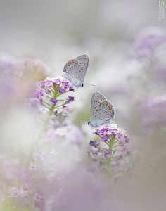 - you're not the only one -Beautiful flowers Butterfly Kisses, Butterfly Flowers, Beautiful Butterflies, Beautiful Flowers, Beautiful Pictures, Flowers Nature, Animals Tattoo, Flying Flowers, Butterfly Wallpaper