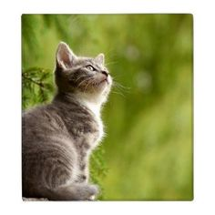 Tiny Gray and white Kitten Peers up to the sky 3 Ring Binder - cat cats kitten kitty pet love pussy