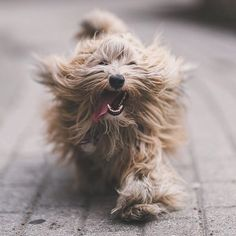 Wild Hair, Smiling Dogs, Havanese, Dog Grooming, Big Cats, Dog Mom, Your Smile, Fleas, Dog Pictures