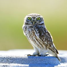 Little Owl by ysbae491 #animals #pets #fadighanemmd