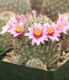 Mammillaria Microcarpia are green bodied plants with hook spines, they produce several a beautiful pink flowers. I