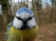 Blue tit-Blaumeise A selection of bird photos Cute Birds, Pretty Birds, Beautiful Birds, Animals And Pets, Cute Animals, Coal Tit, Migratory Birds, Tier Fotos, Little Birds