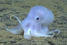 Casper, il polpo fantasma, scoperto nei fondali delle Hawaii - http://www.tecnoandroid.it/casper-il-polpo-fantasma-scoperto-nei-fondali-delle-hawaii/ - Tecnologia - Android