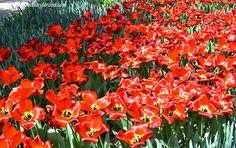 """Paeonia lactiflora """"Argentine""""  en parterre florecidas a comienzos de la primavera"""