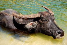 A carabao, or water buffalo, the Philippines' national animal, symbol of hardwork.