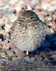 Burrowing Owl .