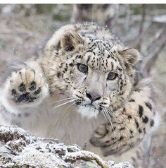 Pouncing snow leopard                                                                                                                                                                                 More