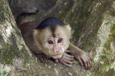 size: Photographic Print: White-Fronted Capuchin (Cebus Albifrons), Puerto Misahualli, Ecuador by Pete Oxford : Ecuador, Rainforest Pictures, Trophic Level, Rainforest Habitat, Social Behavior, Biomes, Primates, Trinidad And Tobago, Legs