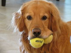 Bruschi the Golden Retreiver