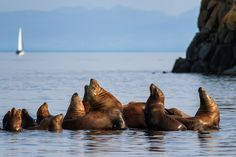 Sea lions basking on rocks near Vancouver Island, British Columbia.  Get tips for photographing marine wildlife in my latest post on Digital Photography School: http://digital-photography-school.com/7-tips-better-marine-wildlife-photography/ #photography #tutorial