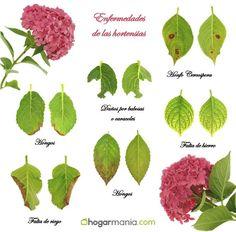 Enfermedades de las hortensias