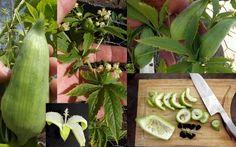Caigua Bolivian Giant Achocha Cyclanthera Pedata Seeds